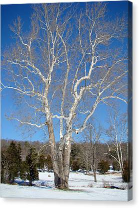American Sycamore - Platanus Occidentalis Canvas Print by Mother Nature