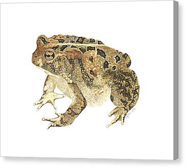 American Toad Canvas Print by Cindy Hitchcock