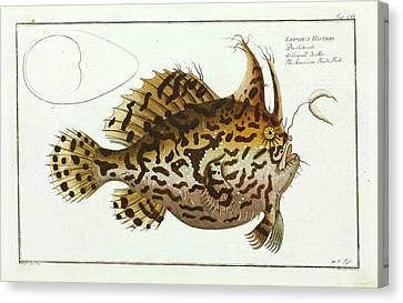American Toad-fish Canvas Print by Natural History Museum, London