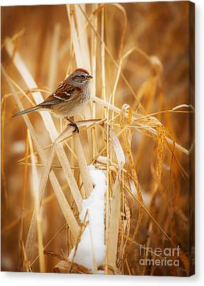 American Tree Sparrow Canvas Print by Todd Bielby