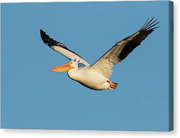 Flying White Pelicans Canvas Print - American White Pelican by Ken Archer