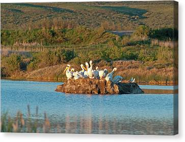 American White Pelicans On Small Island Canvas Print by Howie Garber