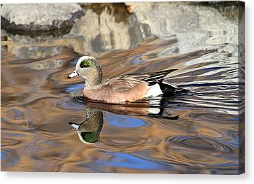 American Wigeon Canvas Print by Donna Kennedy