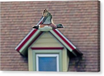 American Wigeon In Flight Canvas Print