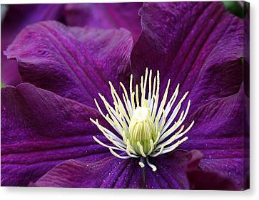 Amethyst Colored Clematis Canvas Print
