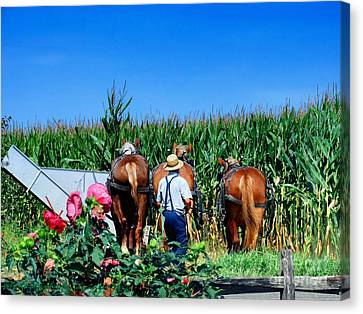Amish Plowing Canvas Print by Gena Weiser