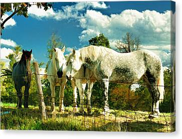 Amish Work Horses Canvas Print by Dick Wood