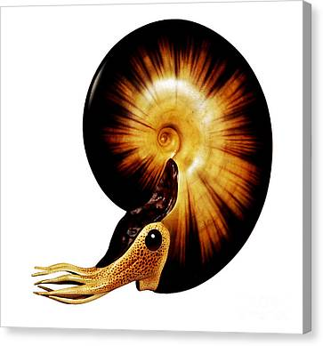 Ammonite Canvas Print by Chase Studio