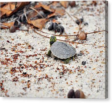 Among Acorns Canvas Print by Al Powell Photography USA