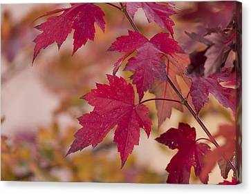 Among Maples Canvas Print