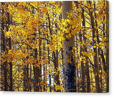 Among The Aspen Trees In Fall Canvas Print