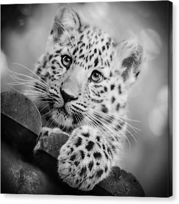 Canvas Print featuring the photograph Amur Leopard Cub Portrait by Chris Boulton