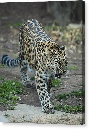Amur Leopard Canvas Print by Phil Abrams