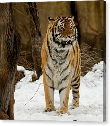 Amur Tiger Alert Canvas Print by Chris Brewington Photography LLC