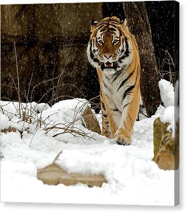 Amur Tiger Approach Canvas Print by Chris Brewington Photography LLC
