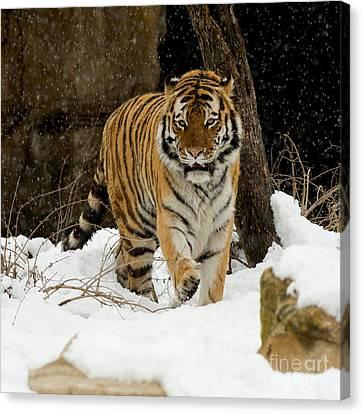 Amur Tiger Canvas Print by Chris Brewington Photography LLC