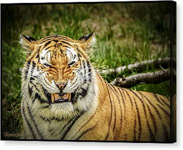 Amur Tiger Smile Canvas Print by LeeAnn McLaneGoetz McLaneGoetzStudioLLCcom