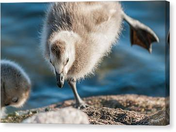 An Acrobatic Goose Canvas Print by Janne Mankinen