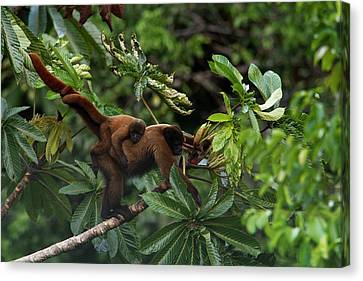 Monkey Canvas Print - An Adult Woolly Monkey With Young by Steve Winter