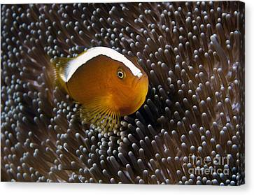 Clown Fish Canvas Print - An Anemonefish In Its Anemone by Matthew Oldfield