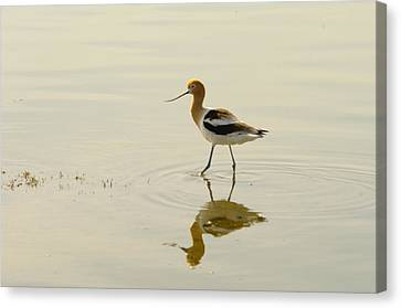 An Avocet Walking The Shore Canvas Print by Jeff Swan
