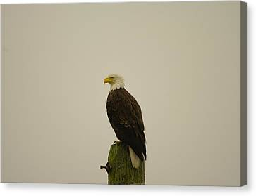 An Eagle Perched Canvas Print by Jeff Swan