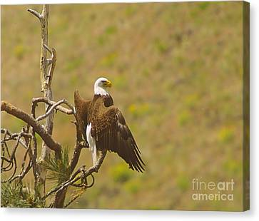 An Eagle Stretching Its Wings Canvas Print by Jeff Swan