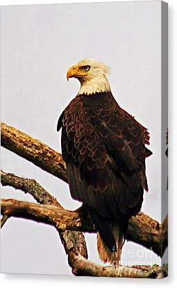 Canvas Print featuring the photograph An Eagle's Perch by Polly Peacock