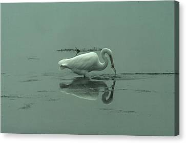 An Egret Feeding Canvas Print by Jeff Swan