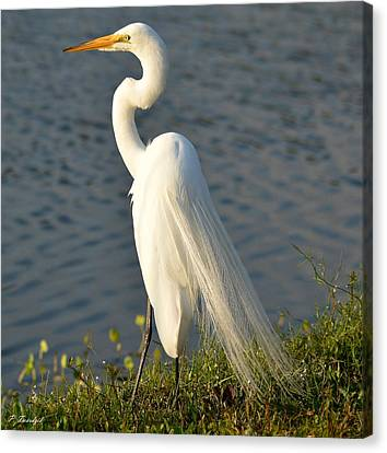An Elegant Egret Shows Off Its White Plumage Canvas Print