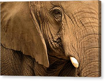 Canvas Print featuring the photograph An Elephant's Eye by Nadalyn Larsen