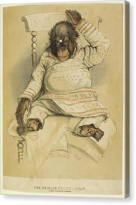 An Illustration Of An Orangutan Canvas Print by British Library