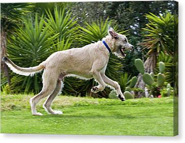 Sight Hound Canvas Print - An Irish Wolfhound Puppy Running by Zandria Muench Beraldo