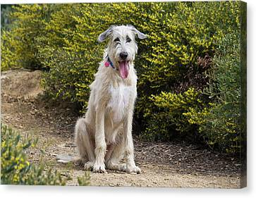 Sight Hound Canvas Print - An Irish Wolfhound Puppy Sitting by Zandria Muench Beraldo