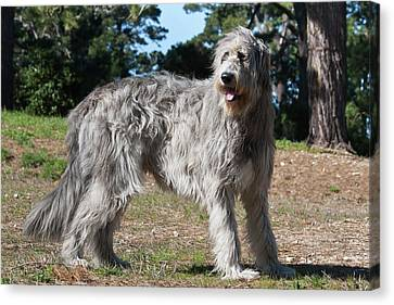 Sight Hound Canvas Print - An Irish Wolfhound Standing In A Field by Zandria Muench Beraldo