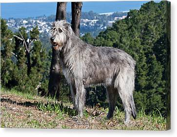 Sight Hound Canvas Print - An Irish Wolfhound Standing On A Hill by Zandria Muench Beraldo