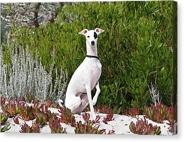 An Italian Greyhound Sitting Canvas Print by Zandria Muench Beraldo