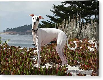 Sight Hound Canvas Print - An Italian Greyhound Standing by Zandria Muench Beraldo