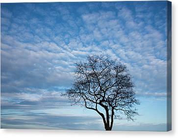 An Oak Tree On Masons Island Canvas Print by Michael Melford