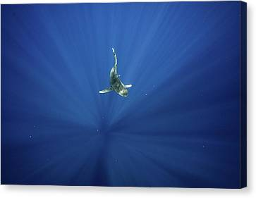 An Oceanic Whitetip Shark Swims Canvas Print by Andy Mann