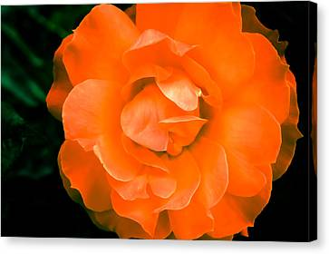 An Orange Rose Canvas Print by Ronda Broatch