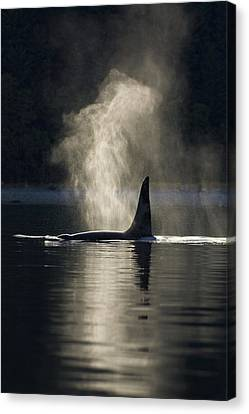 An Orca Whale Exhales Blows Canvas Print by John Hyde