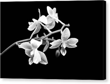 An Orchid  Canvas Print by Tommytechno Sweden