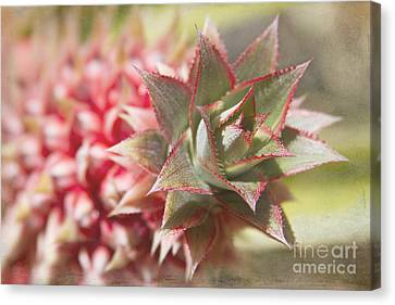 Ananas Comosus - Pink Ornamental Pineapple Canvas Print by Sharon Mau