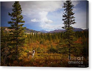 Anatolian Shepherd Canvas Print by Chris Heitstuman