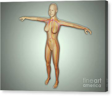 Anatomy Of Female Body With Arteries Canvas Print by Stocktrek Images