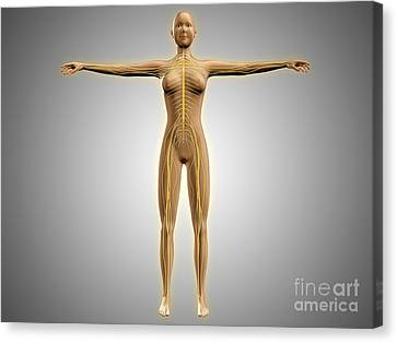 Anatomy Of Female Body With Nervous Canvas Print by Stocktrek Images