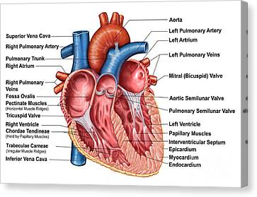 Anatomy Of Heart Interior, Frontal Canvas Print by Stocktrek Images