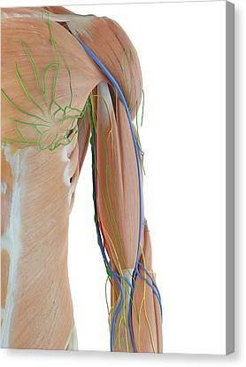 Anatomy Of Human Arm Canvas Print by Sciepro