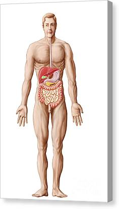 Anatomy Of Human Digestive System, Male Canvas Print by Stocktrek Images